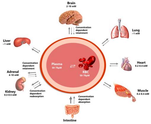 Распределение витамина С в органах и тканях