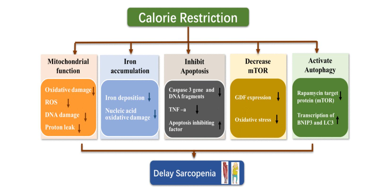 Ограничение калорийности откладывает саркопению