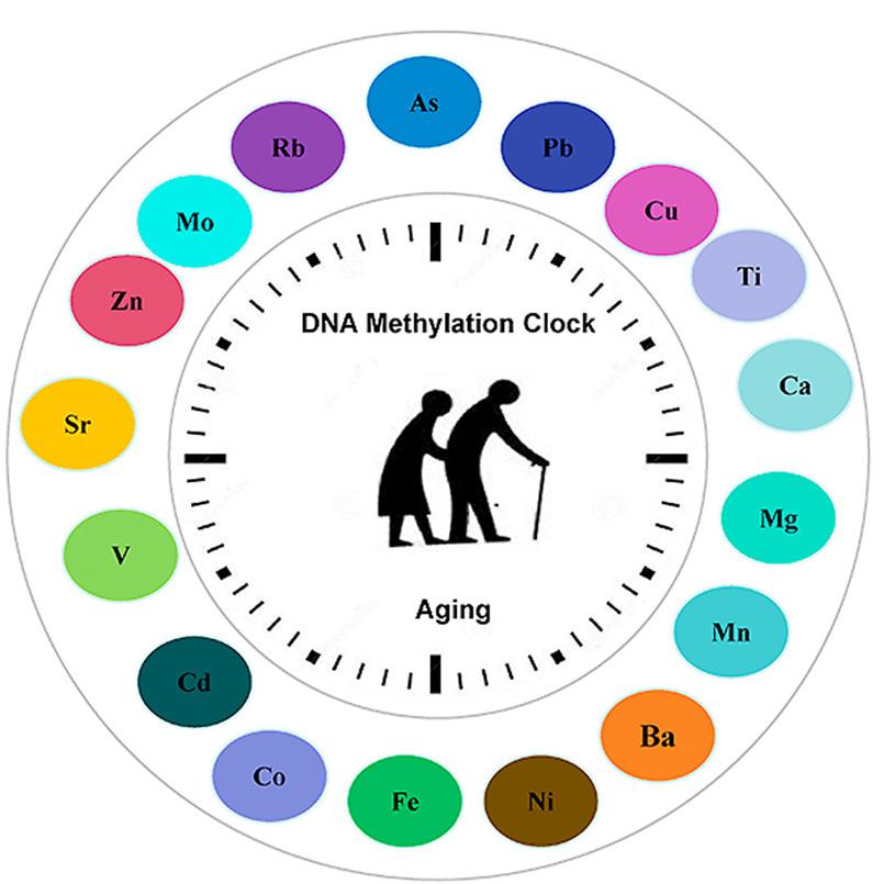 Смесь металлов Эпигенетические часы, метилирование ДНК