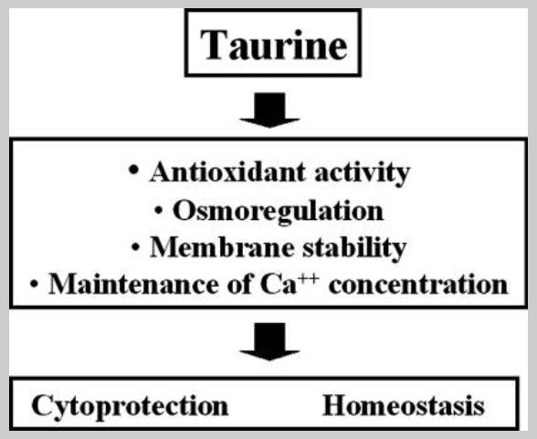 Биологические функции внутриклеточного таурина и иммунных клеток