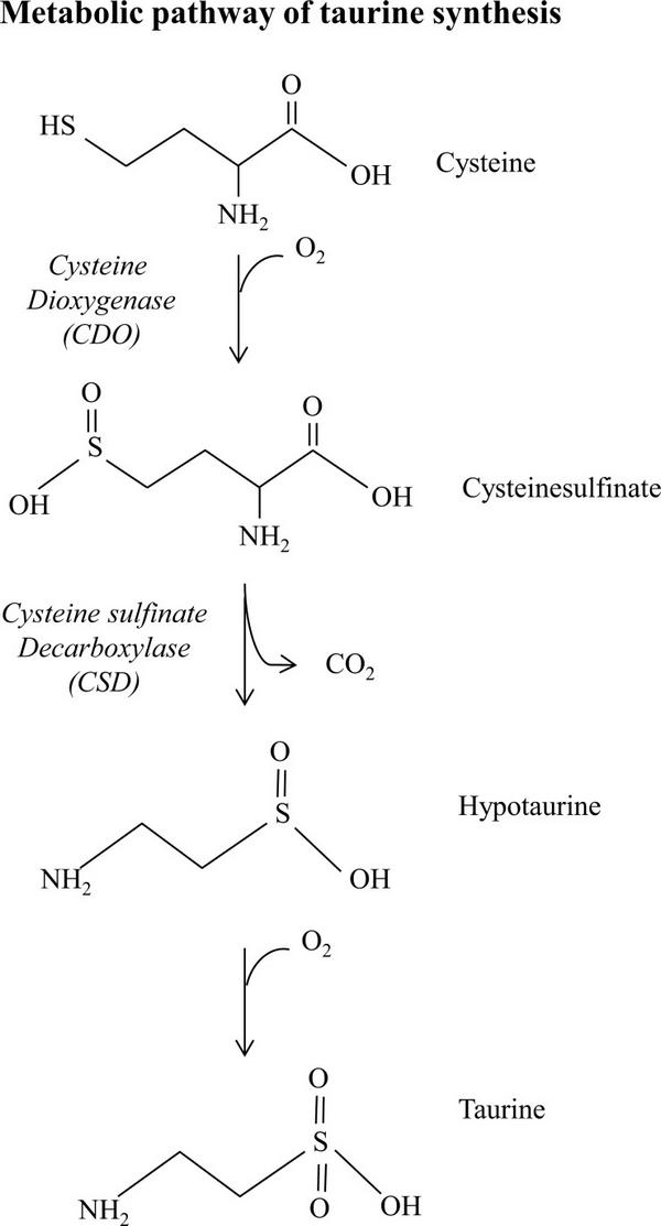 Метаболический путь синтеза таурина