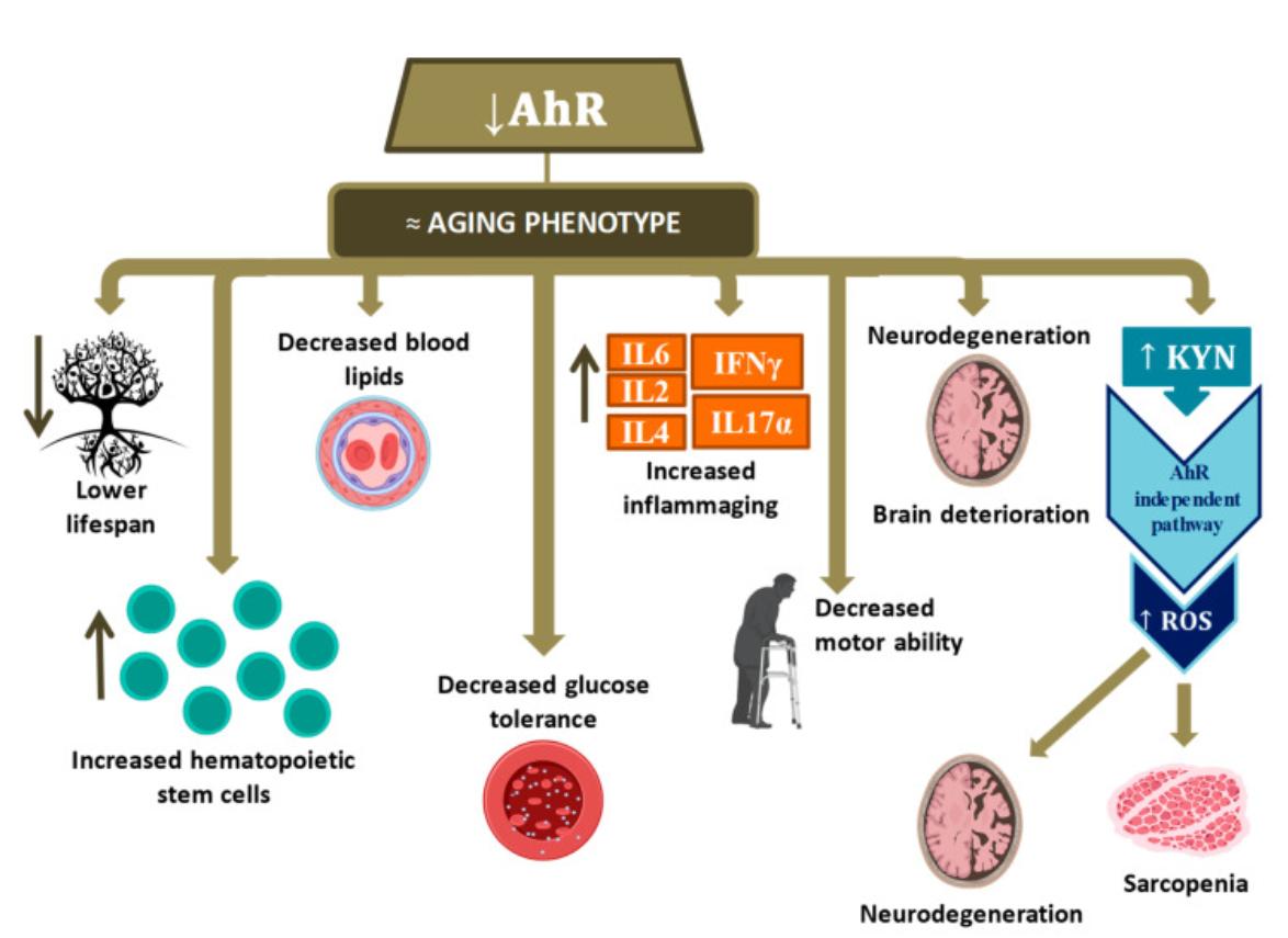 Арилуглеводородный рецептор и старение